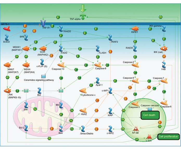 Fig. 3. Apoptosis and survival — TNFR1 signaling pathway map.