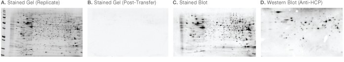 2-D western blotting steps for CHO cell lysate