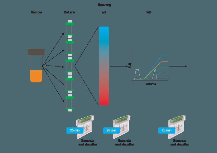 Protein purification scheme