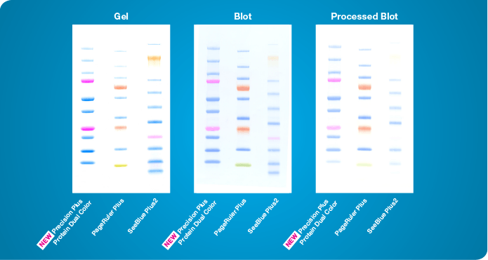 Comparison of Precision Plus Protein standards with other molecular markers on gel, blot, and stripped blot