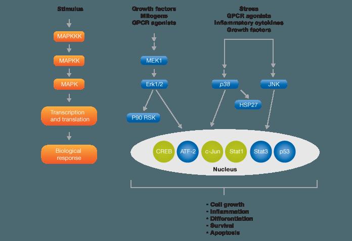 MAPK signaling pathway