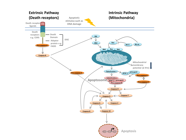 Apoptosis pathway diagram