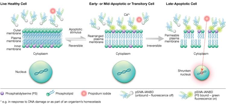 fig-06-apoptosis-pSIVA