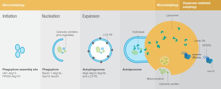 fig-01-autophagy-pathways