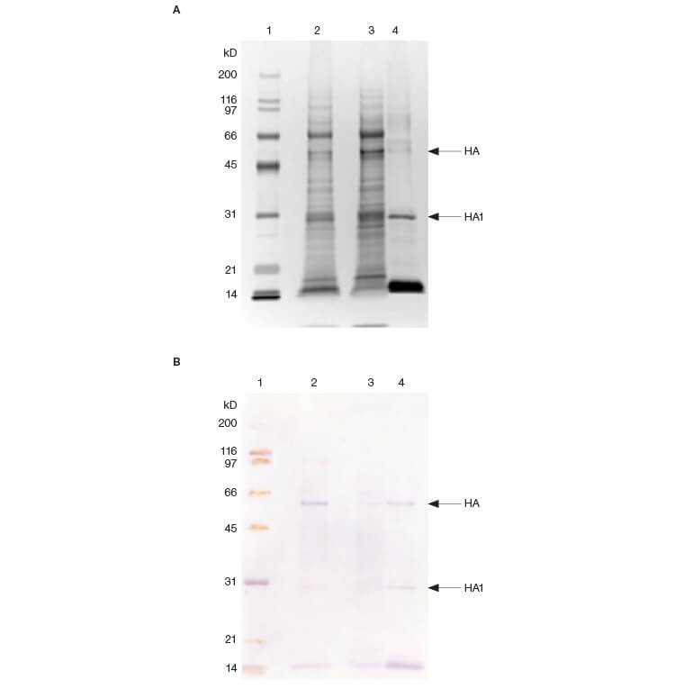 Fig. 3. SDS-PAGE (A) and immunoblotting analysis (B) of fractions.