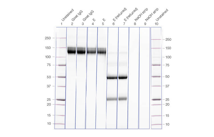 Fig. 3. Gel image confirming the yield of IgG, reduced IgG, and column strip fractions run from the corresponding chromatogram.