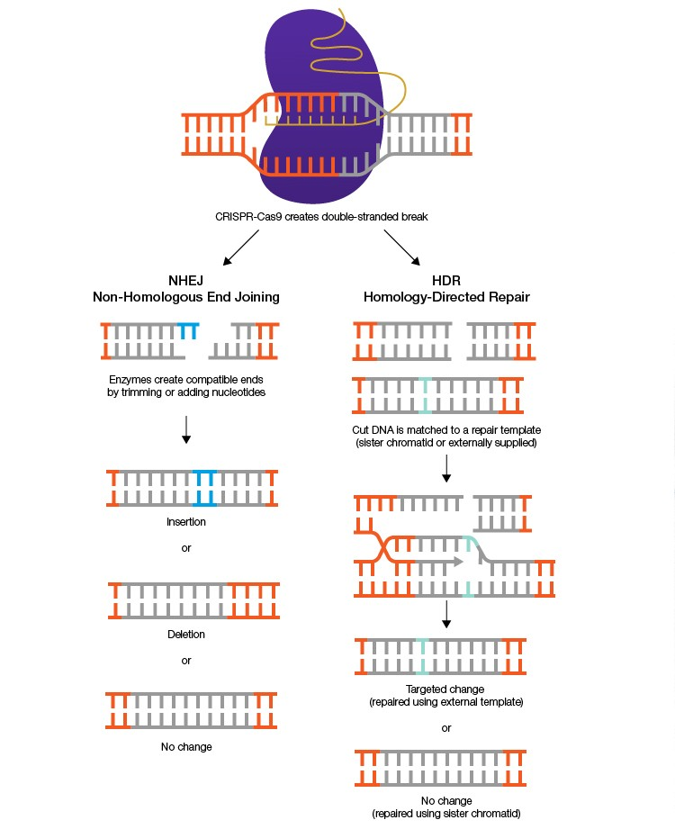CRISPR diagram