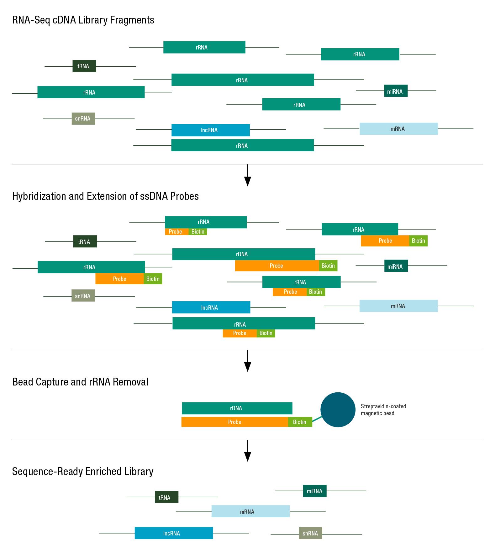 Ribosomal RNAs (rRNAs)
