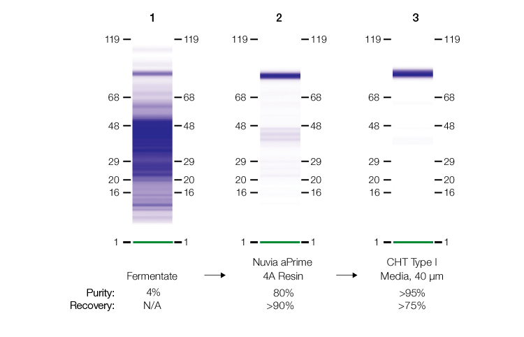 SDS-PAGE analysis from the two-step purification workflow involving Nuvia aPrime 4A Resin.